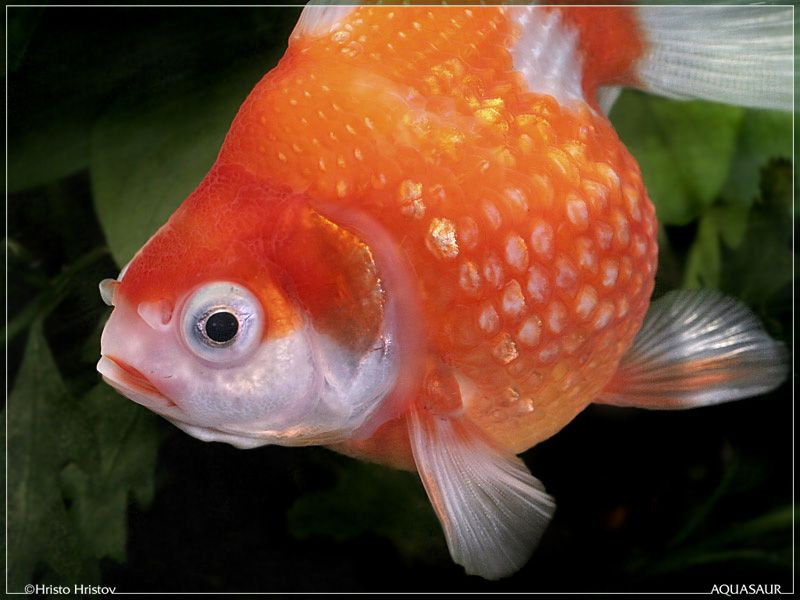 cute little goldfish Goldfish, Fish, Pet shop