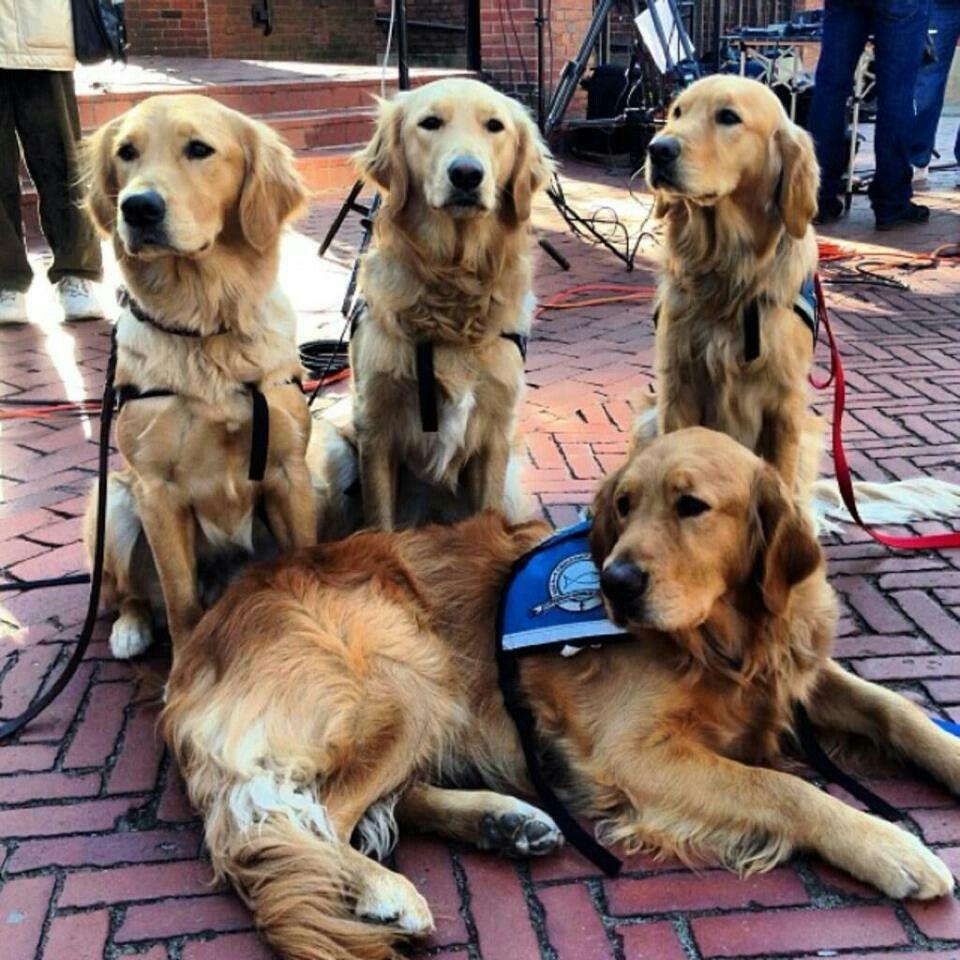 In Boston To Offer Comfort Golden Retriever Retriever