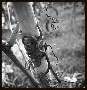 i viticci delle vite -- the curly cue of a grapevine in Piemonte