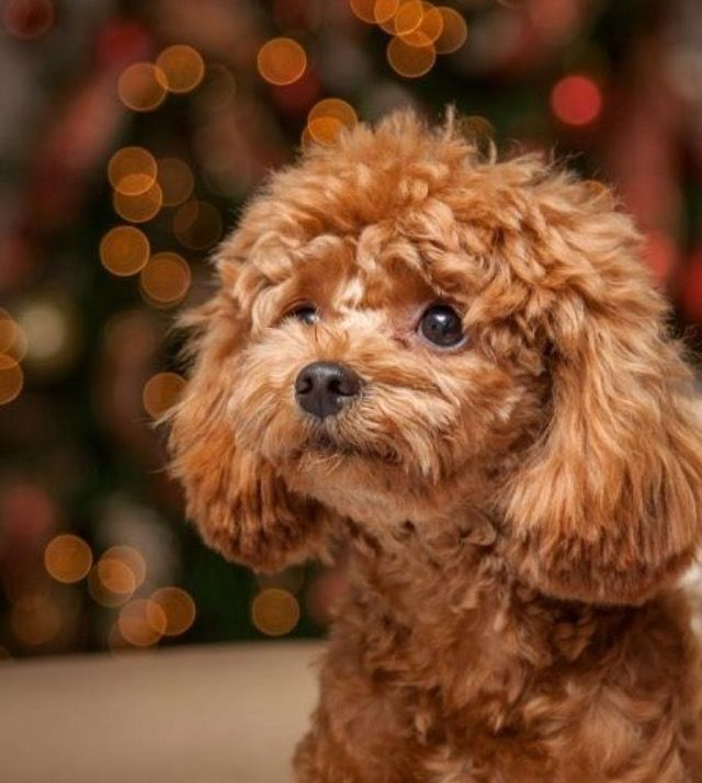 Pin By C T On Cute Animal Photos Poodle Puppy Cute Dogs Puppies