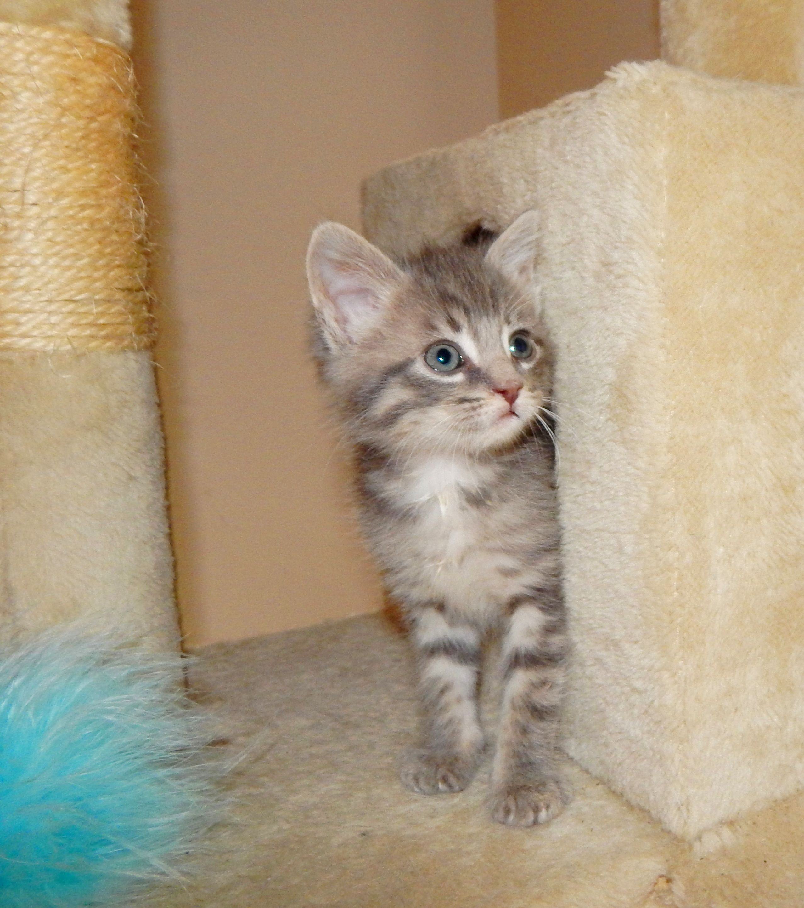 Kit / Male / 7 weeks old Last Chance Pet Rescue, Inc