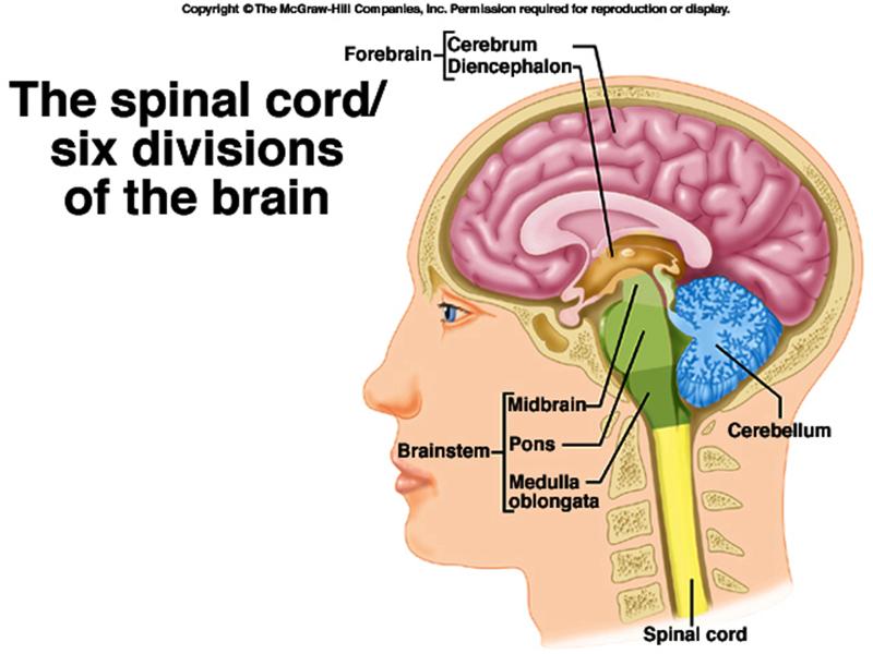 brain cerebrum thalamus hypothalamus pons medulla oblongata ...