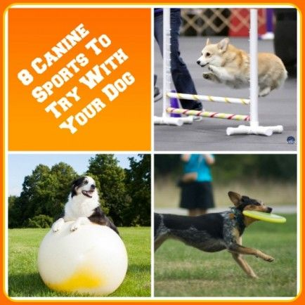 8 Canine Sports To Try With Your Dog Agility Treibball Dock