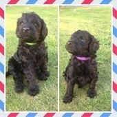 Stunning F1b Labradoodle Puppies N Ireland For Sale In Antrim Northern Ireland Dogs And Puppies Labradoodle Puppy Puppies F1b Labradoodle