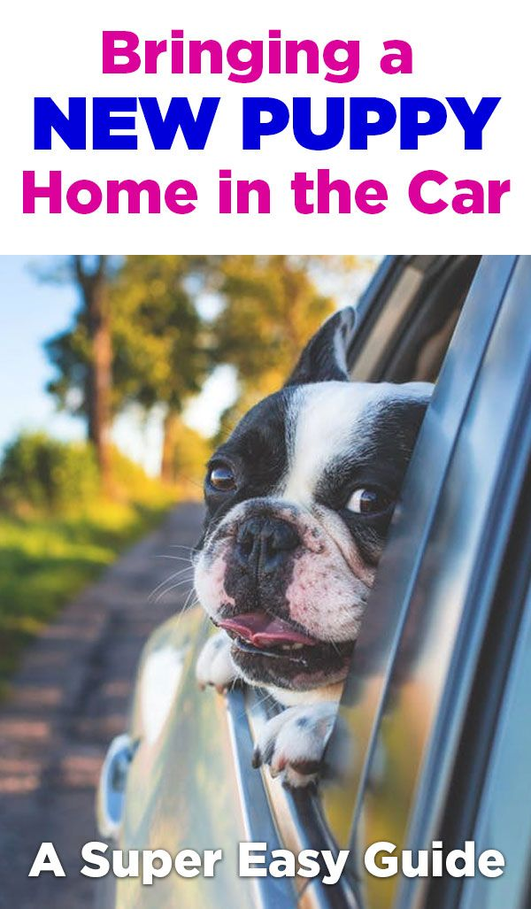 Bringing A Puppy Home In The Car Super Easy Guide Moving Cross