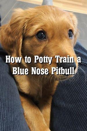 Victoria Hamilton How To Potty Train A Blue Nose Pitbull In 2020