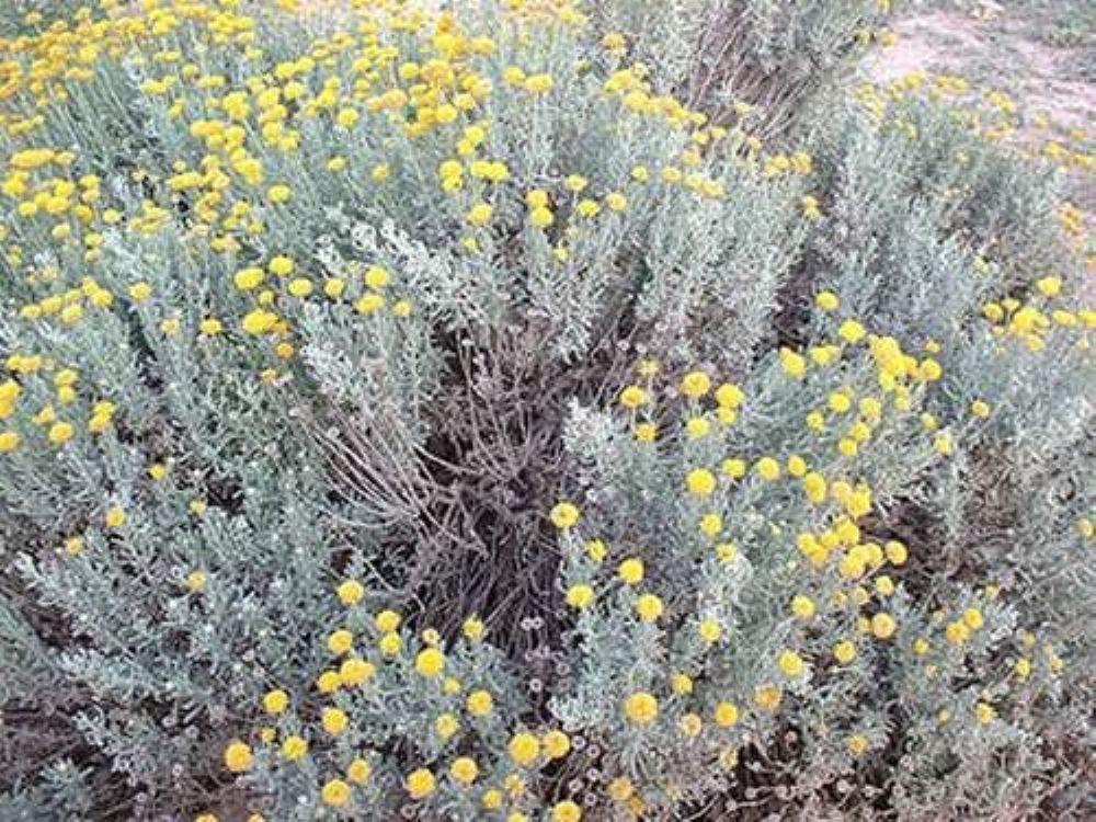 تعرف الى فوائد الشيح منها علاج المشاكل النفسية الطب العربي البديل Garden Design Landscape Architecture Plants
