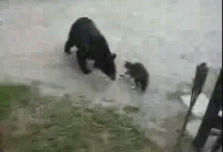 27 januari 2010  Deze Canadese kat is een uitstekende 'waakhond'. Dat toont onderstaand YouTube-filmpje aan.  Een wilde beer kwam op de portiek van een huis wat in een zak afval snuffelen. De kat wilde zijn baasjes verdedigen en liep meteen naar buiten. De beer schrikt en vlucht weg.