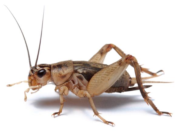 Pest Control Company Bug Control Cricket, Cricket