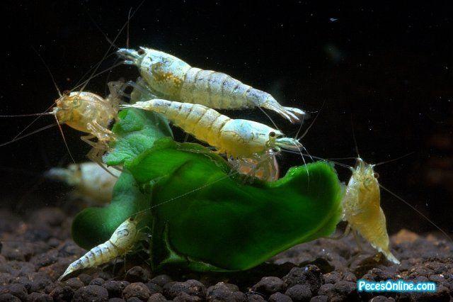 Segunda Mano Freshwater Aquarium Shrimp Shrimp Tank Shrimp