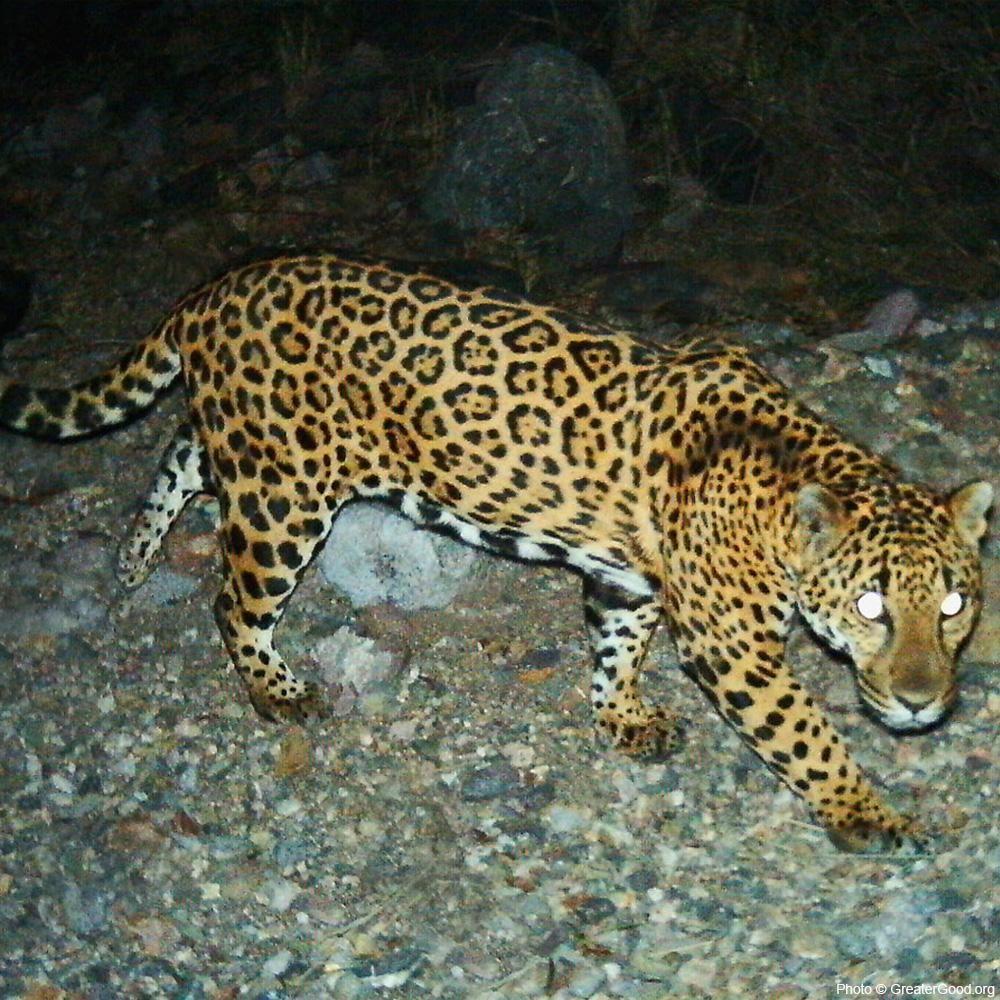 2020 Baby Big Cats 16 Month 12 x 12 Wall Calendar Tiger Lions Cheetah Animals