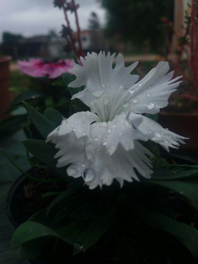 Calvelina Blanca 😍😍👌💕🌸