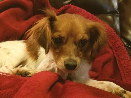 Papshund Dog For Adoption In Wichita Ks Adn 662135 On
