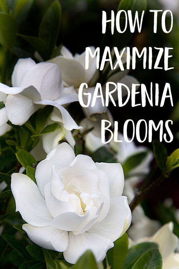 How to maximize gardenia blooms