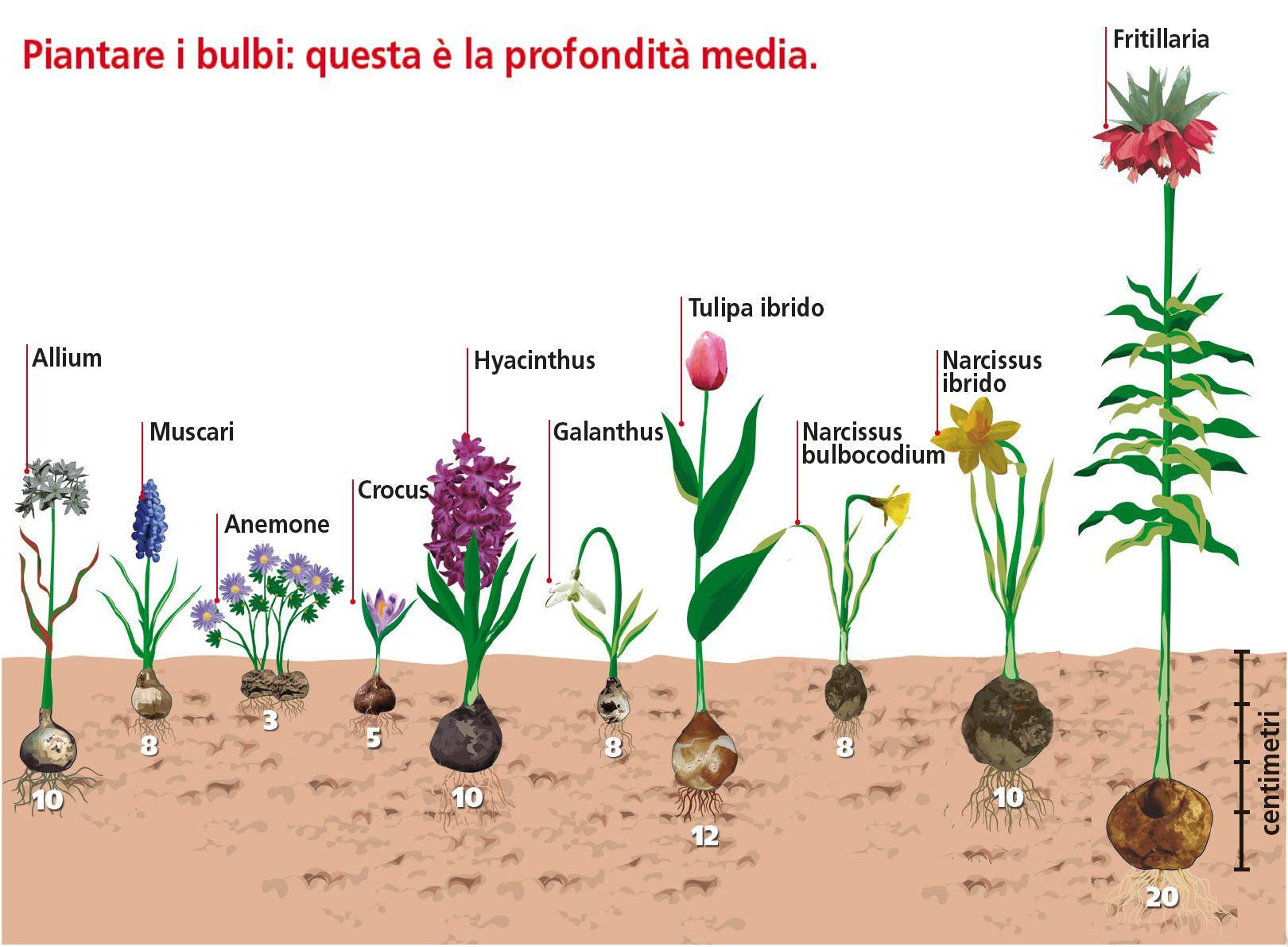 Piantare I Bulbi Di Tulipani piantare adesso le bulbose per l'estate | fiori da bulbo