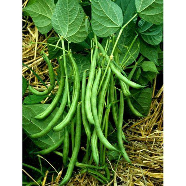 Gardens · NEW FOR 2013! Kentucky Bush Bean. Wonderful Bush Style Heirloom  Bean That Yields A