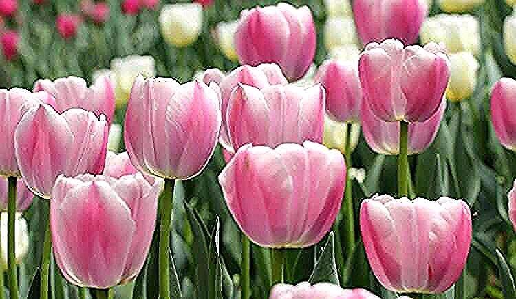Gambar Bunga Tulip Yang Indah Sekali Kali Ini Kami Akan Menyajikan Galeri Gambar Bunga Tulip Penjelasan Lengkap Seputar Gambar Bunga Ya In 2020 Flowers Plants Rose