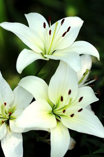 Lilies | Beautiful flowers, Lily flower, White lilies