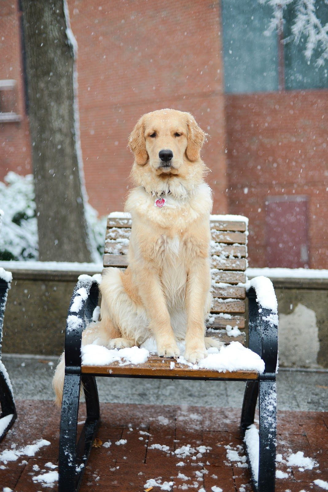 Charlottesville Va Mastiff American Bulldog Mix Meet Baloo A