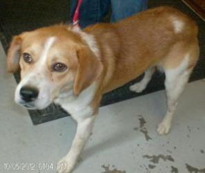 Adopt Amos Needs Foster On Puppies Adoptable Beagle Dogs