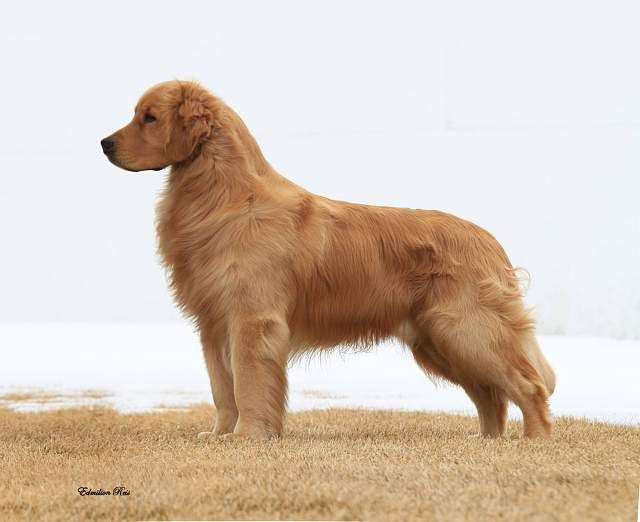 Grooming Golden Retriever Golden Retriever Grooming Golden