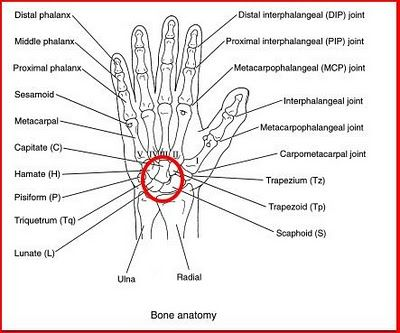 Hand Joints Anatomy Diagram Information Of Wiring Diagram