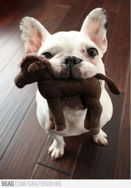 French bulldog 9gag