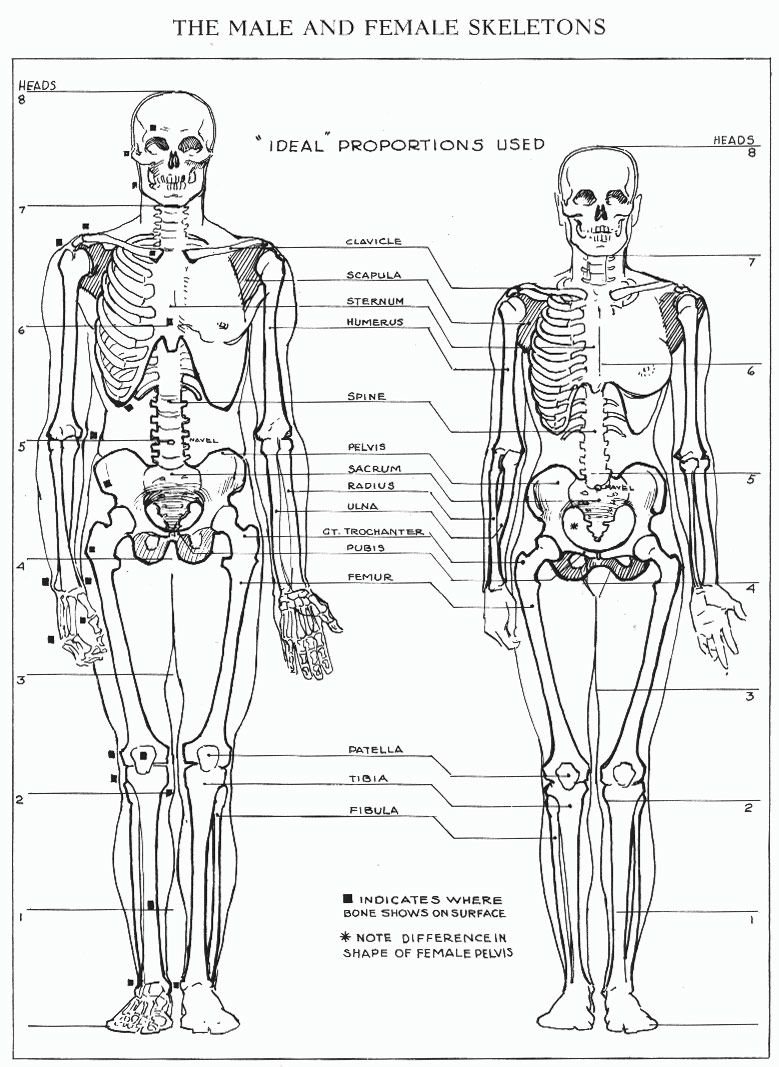Squelette d 39 un homme et d 39 une femme et proportions - Dessiner un squelette ...