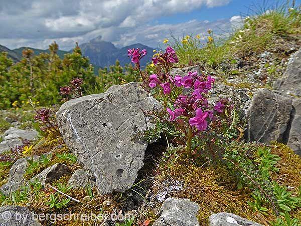 Geschnäbeltes Läusekraut auf 2000 Metern Höhe (Bichlbächler Jöchle, Lechtaler Alpen).