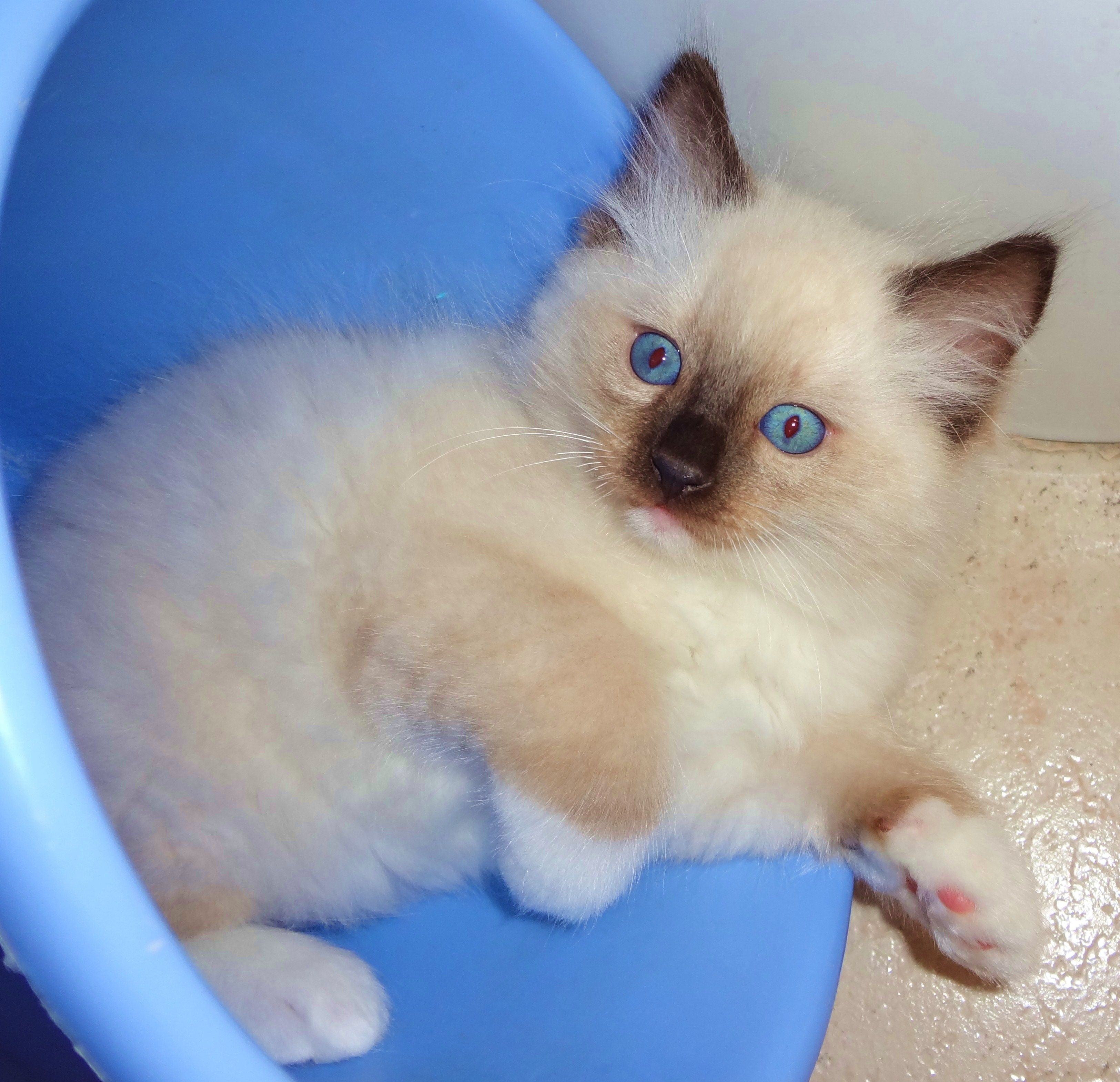 Harry Potter, 2 months old, traditional seal mitted Ragdoll....i ...