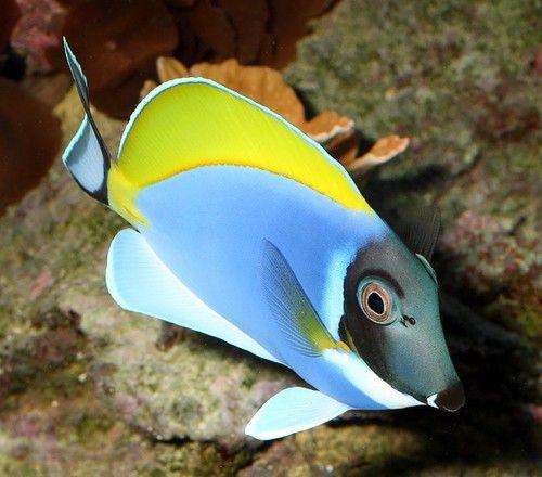 Aquarium Fish Surgeonfishes A K A The Tangs Fish Salt Water Fish Aquarium Fish