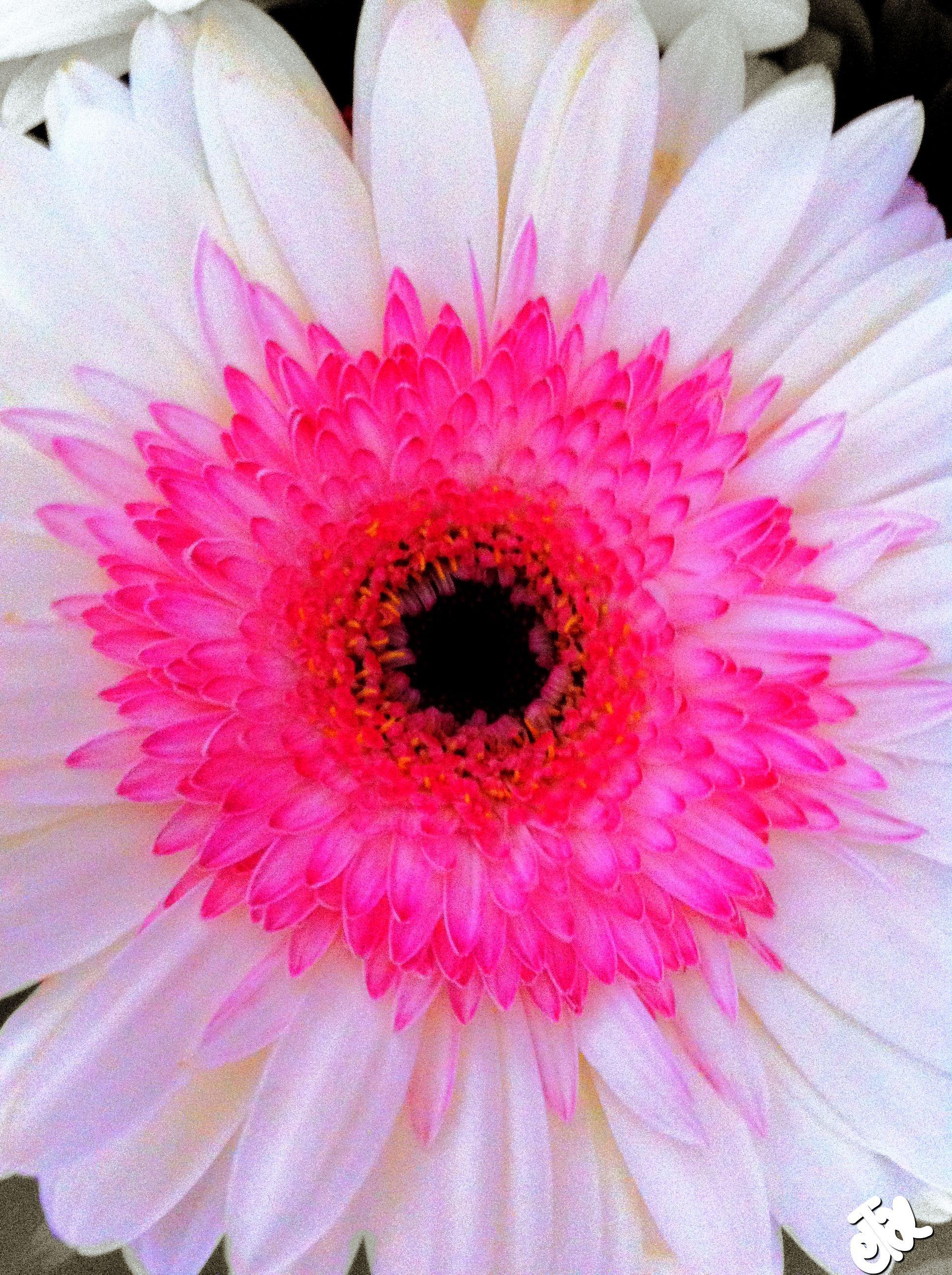 White Gerbera Gerbera Daisy Gerbera Love Flowers