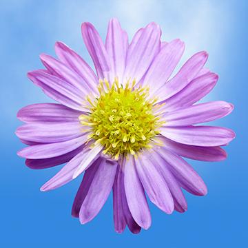 60 Aster Flowers Online Special Aster Flower Flowers Online Flowers