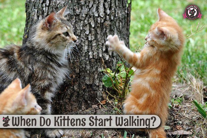 When Do Kittens Start Walking Kittens Cat Care Cats