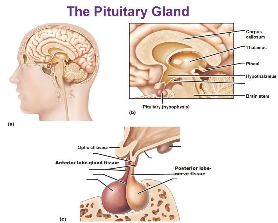 Pituitary Gland Anterior Lobe Posterior Lobe Hypophysis Brain