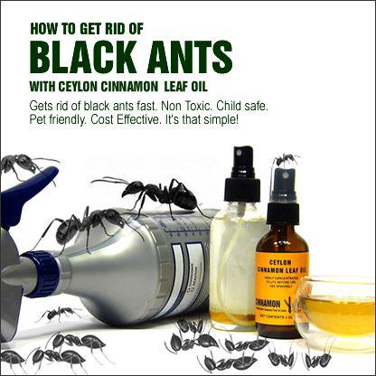 Get Rid Of Black Ants With Cinnamon Black Ants Cinnamon Oil Ants