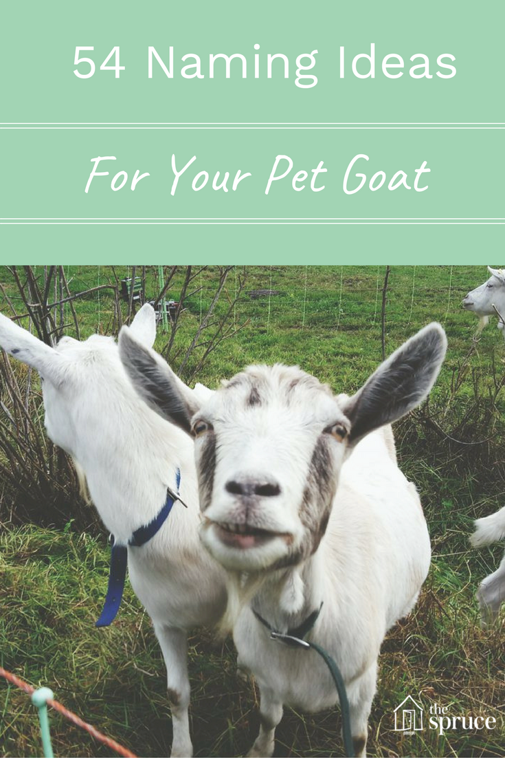 54 Perfect Name Ideas for Your Pet Goat or Sheep Cute