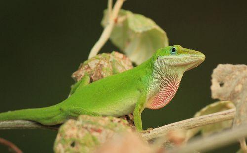 Green Anole 熱帯雨林 トカゲ 生態系