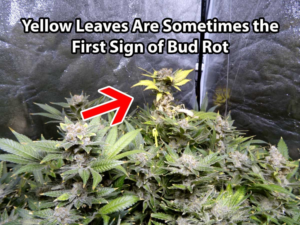 One of the first signs of bud rot is often yellow leaves where the one of the first signs of bud rot is often yellow leaves where the mold is taking hold mightylinksfo