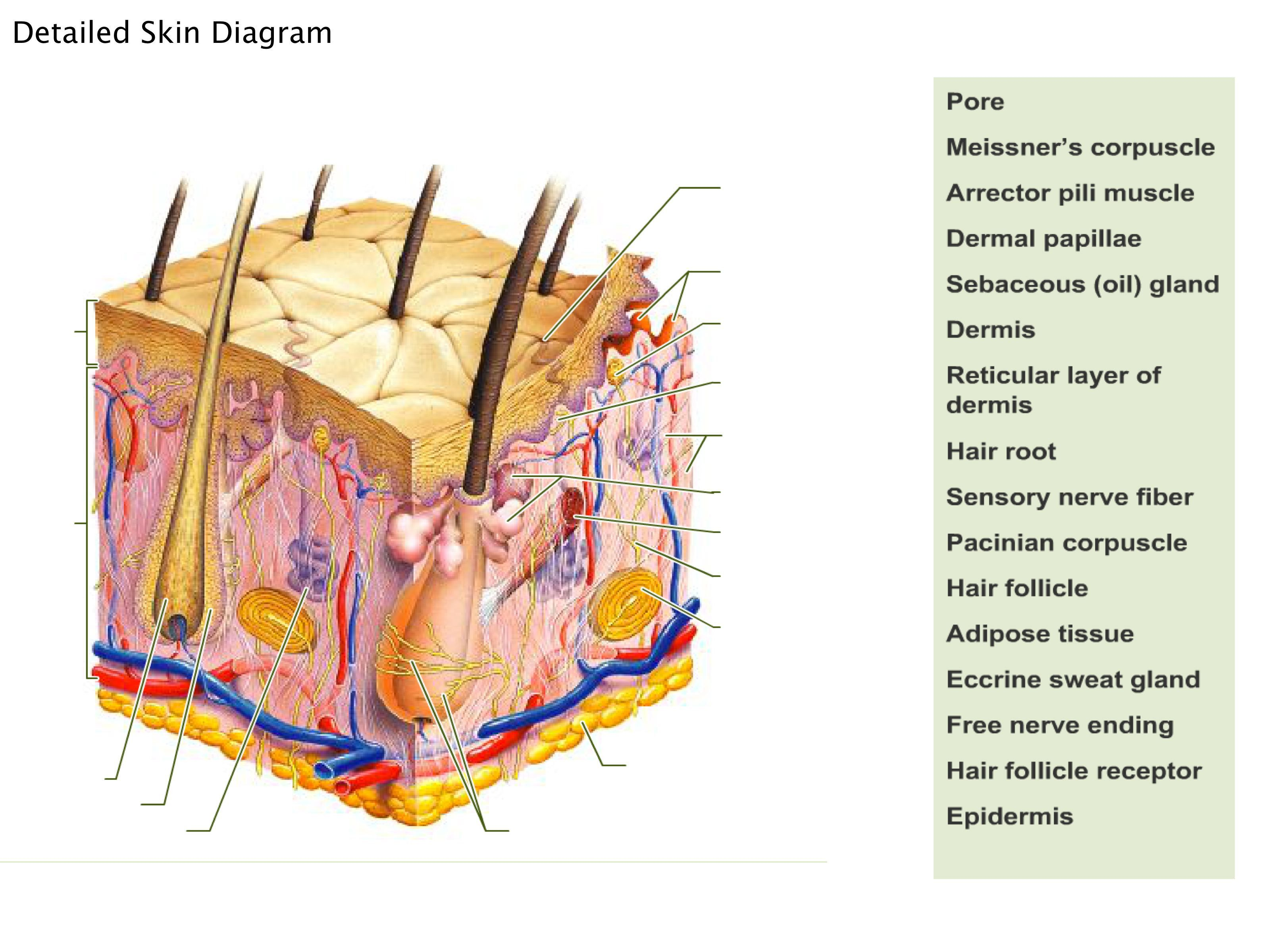 Integumentary System Diagram To Label Lovely Human Skin