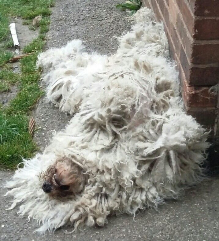 Dog Breed That Looks Like A Rug: Pin By Ali Anthony On Komondor Dogs