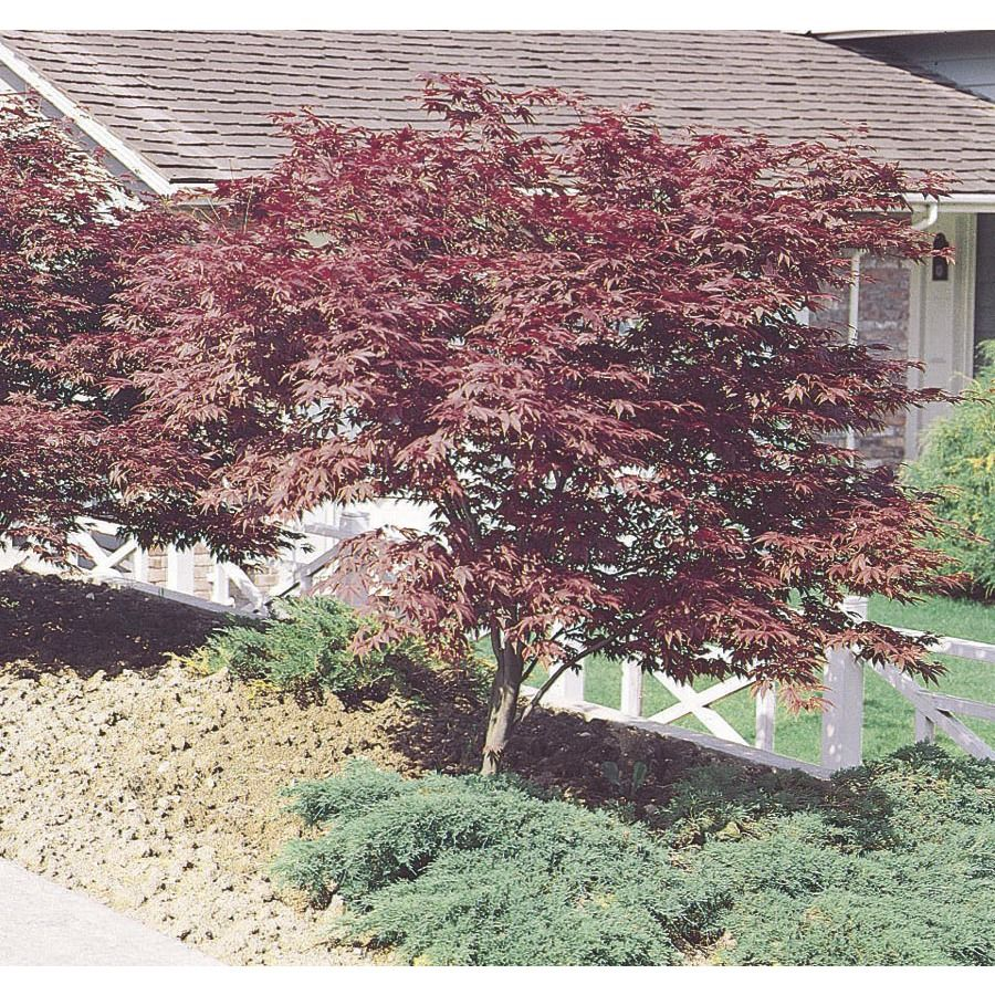 1.5 Gallon Red Japanese Maple (L3165) NURSERY