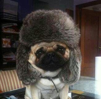 Here We Have A Russian Pug In It S Natural State Pugs Funny