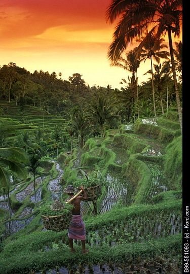 The perfectly timed photo.  The ricefields of Ubud at sunset.