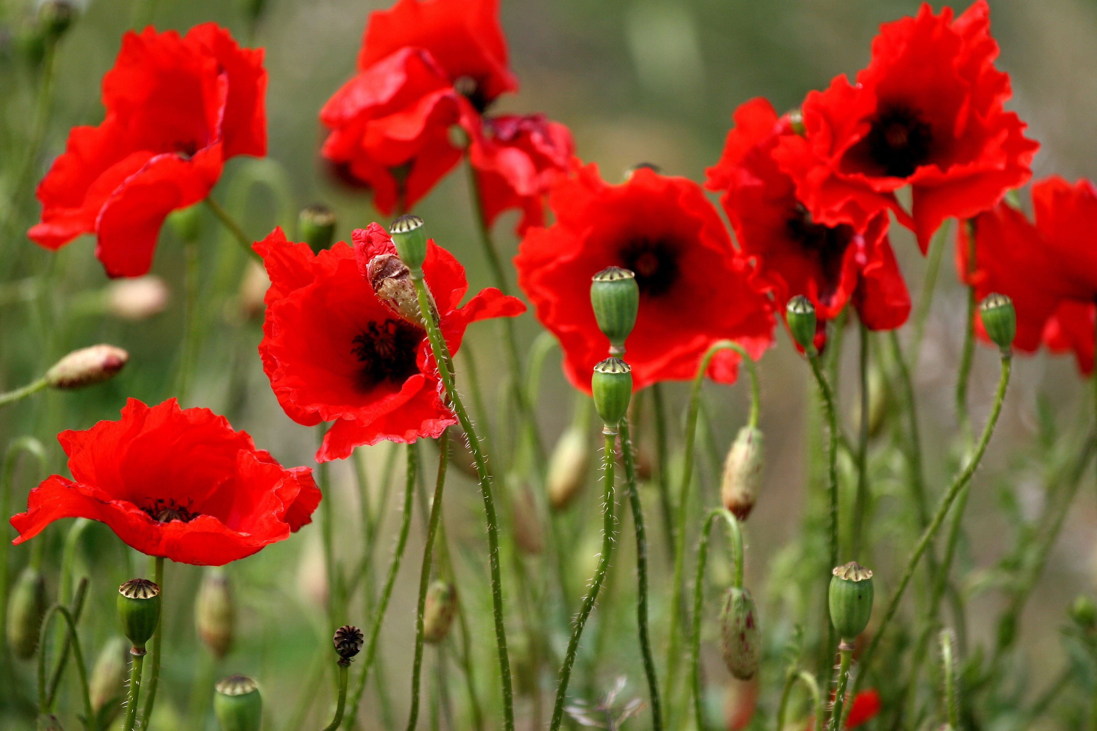 23 Best Armistice Day Poppies Ideas Pinterest Armed Forces And Arms