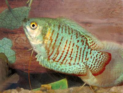 Neon Blue Dwarf Gourami Rainbow Dwarf Gourami Trichogaster Lalius Variety Fish Pet Neon Blue Animals