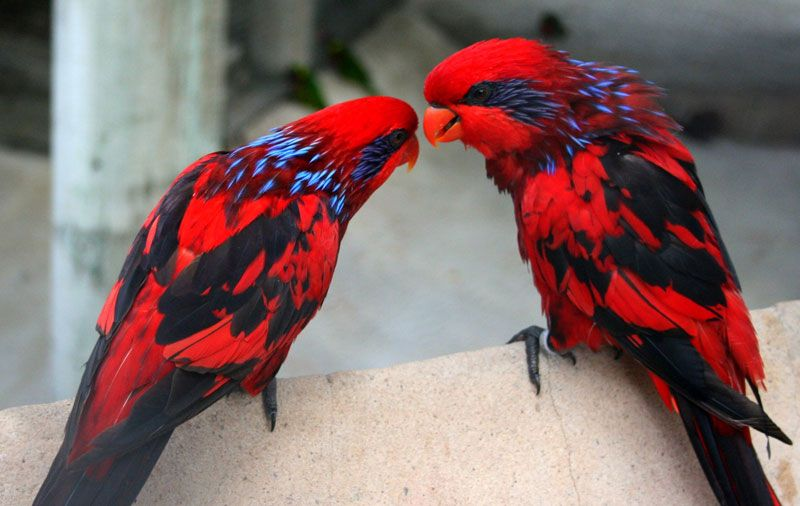In this photo we see the striking plumage of the blue-streaked lory (Eos reticulata). The medium-sized parrot can be found in Indonesia.