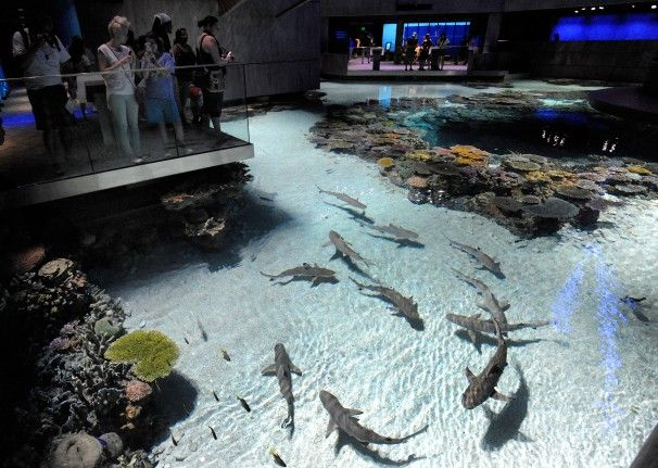 In national aquarium s blacktip reef exhibit sharks find for Shark fish tank