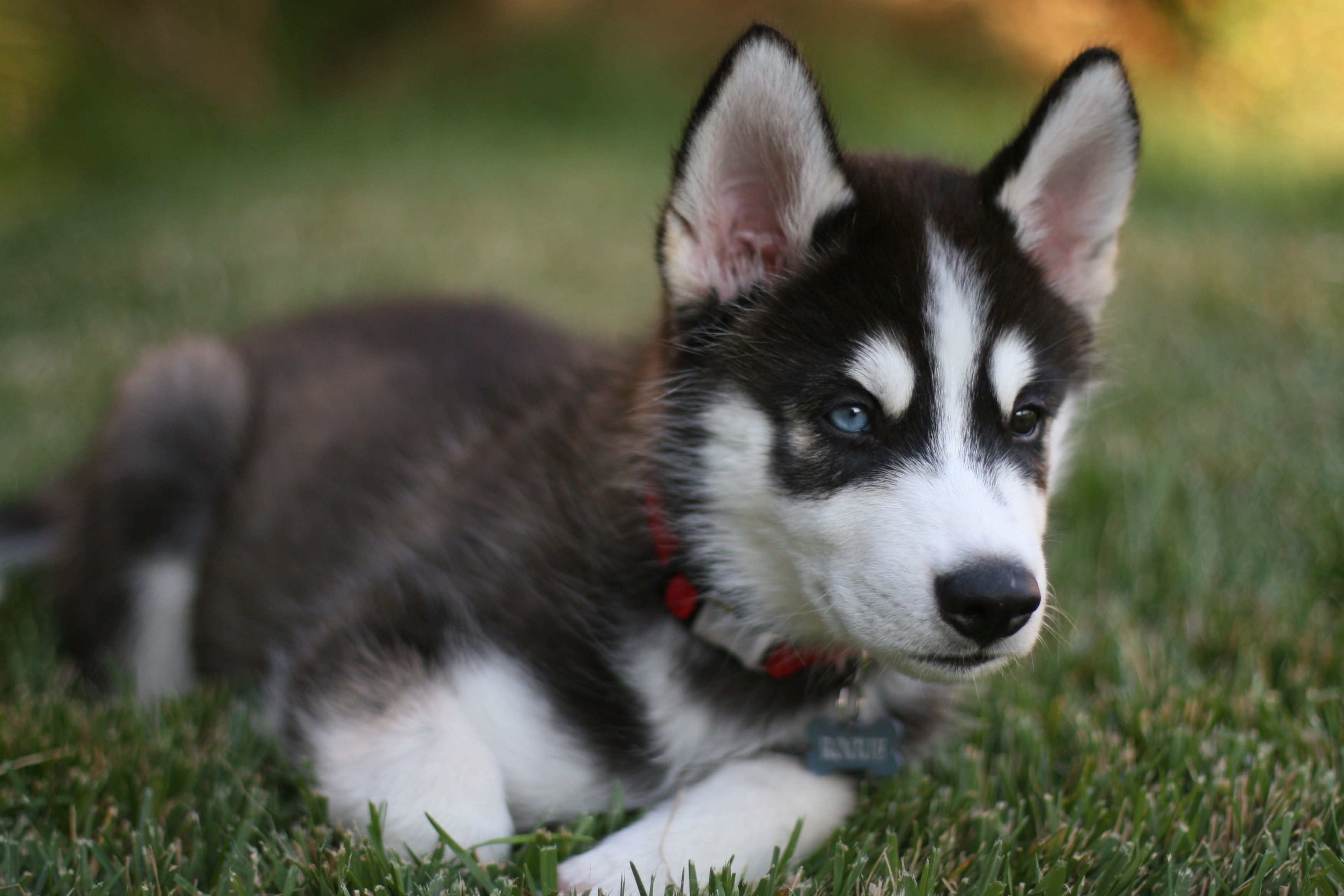 Husky Puppy For Puppy Fridays From Underdog Rescue Of Arizona