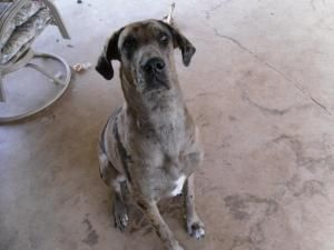 Adopt Joy The Great Dane On Great Dane Dogs Dog Mixes Animal